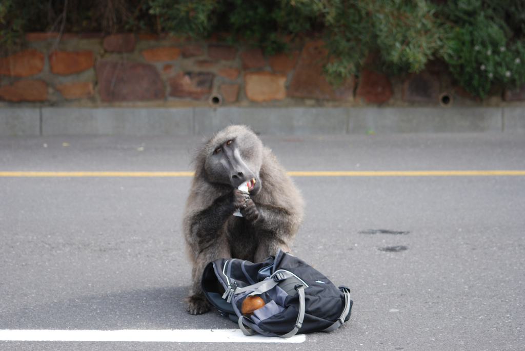 Naughty Baboon at Cape Point