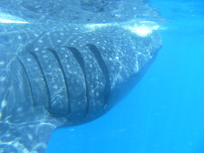 Whale shark with gills by saf2285, Flickr CCby2.0